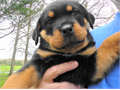 Rottweiler AKC German registered  puppies born 082417 and another litter coming soon parents on