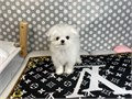 Prince-TIny maltese puppy