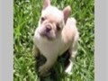 These French Bulldog pups are 12 weeks old  The puppies have been raised in a very calm environment