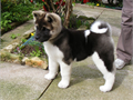 male and one female akita puppies  cute dogs  very inteilligent and playful