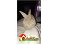 Around 10 month old rabbit for sale male