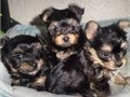 We are looking for a re home for our 10 weeks old puppies they are very active and healthy theyre o