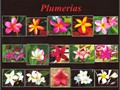 PLUMERIAS  TROPICALS PLANT SALE SATURDAYS ON WNUBIA ST AT HOLLENBECK AVE IN COVINA 91722  9AM -