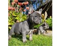 Blue French Bullldog pups BoyGirls  10weeks old  vaccinated and come papers interested Textcall