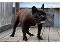 Hi I am Buddy a friendly loving French bulldog I am about 25-28 lbs   I can be a pet or a breeder