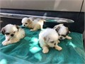 Hi I have for sale 7 beautiful shih tzu puppies they are pedigree but with no papers they have been