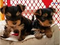 Cute Tcup Yorkie Pups for sale Kindly contact via text  213-471-7230  for more