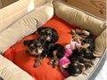 Absolutely darling Yorkie Puppies boys  girls Registered Current vaccinations Veterinarian exam