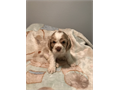 Adorable CKC Registered Purebreed Cocker Spaniel PuppiesTails Docked Dewormed first shotswith p