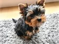Yorkie Princess they are both Adorable Teddy Bear Face Nice shiny coat their weighs are 21 lb at