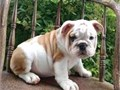 These puppies are looking for special owners who understand Bulldogs or are ready to learn about Bul