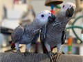 African Grey Babies are  ready to find a new home This adorable birds are one of the sweetest birds