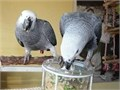 My big beautiful African Grey They are 10 months year old very tame loves playing and talking