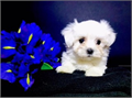 Tiny maltese male super cute babydoll face818-416-2522  up to date on shot and deworm shipping