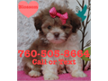 Shih Tzu Puppies for sale  These are 100 Purebred Shih Tzu they are 8 weeks old and will come up