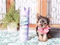 4 beautiful Yorkie puppies for adoption They are 12 weeks old Great pups very healthy and charmin