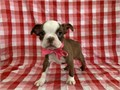 Boston Terriers are a classic mans best friend they make awesome hikers and