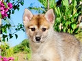 Name Roxy First Generation Pomsky F1Gender FemaleDOB 6-1-16New Pictures taken Aug 9th