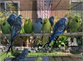Beautiful English Budgies starting 65 and up Young adults and hand-tame budgies are available I h