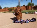 Puppys name BrooklynBreed Mini Goldendoodle F1BAge 10 weeks old Regi