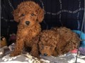 Healthy litter of vaccinated  dewormed Malti-poo puppies We do first come first serve due to so