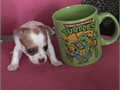 Female chi-poo Chihuahua Poodle teacup puppy parents on site mother weighs 3 pounds father weighs 4