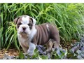 English Bulldog Puppies male and female ready to win your heart This chunky pup is vet checked and