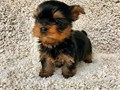 Beautiful Yorkie puppies just turned 10 weeks and are now ready to meet their new loving family The