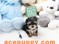 Gorgeous teacup  Morkie puppies for sale2 months old healthy and happy boys and girlsshots and