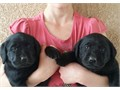 Black English Labrador puppies Raised with kids and other dogs current shots de-wormed and dew-cl