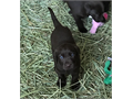 AKC Choc Lab pups Taking deposits to reserve a pup Only 1  female still available  Dew claws remo