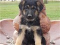 Pure German Shepherd Pups For more info and pics contact us at 205 346-7638