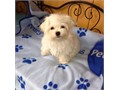 Gorgeous white Maltese PuppiesThey will make great family pets and are good with children and other