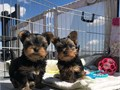 nice baby face Yorkie Puppies they are 12 weeks old Yorkie puppies to give it o