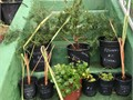 5 gallon Rosemary or JuJuBe 20 each Cash Only very fragrant garden herb popular culinary ingredient