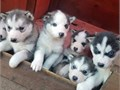 Super adorable Siberian Husky puppies So gentle and affectionate I have one male and one female le