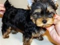 Cute Teacup Yorkie And Maltese Puppies Ready For Sale NOTE PLEASE do text us on 214-731 x 4254 o