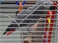 Selling our much loved pair of African greys due to separation  Female and male female is very tame