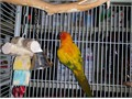 sun conures 4 years  old  breeding pair   shes a good mother male excellent father rehoming fee 70