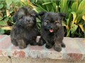PomeranianPoodle Males 9 weeks old Beautifully colored Puppys are Hypoallergenic so no sheddin