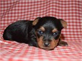 male and female Yorkies  406-890-7609they will be a good friend to your family and friendsalso t