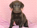 This beautiful little English lab was born on 62317 Shes very active and socialized Her shots