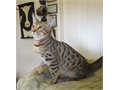 The living room Leopards Is your house boring Just put a Bengal cat in it  see what happensNON