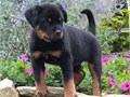 Text only  254 218-3855We have genuine German sa Registered  Rottweiler available please donot