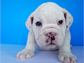 White color english bulldog Pedigree super rare color one of kind  DOB 5302017female up to