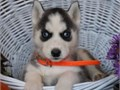 siberian husky puppies up for adoption for more info and pics please call or sen