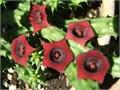 Rare Stapelia Huernia Pendula Red Dragon Crimson Red Flowers 10 Cash Only Stapelia Gigantea-Stape