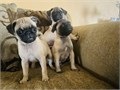 HiPug puppy FEMALES AND MALES  8 weeks old with 1st set of shots and dewormed and with vaccinatio