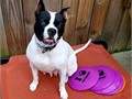 2 years old American bulldog for saleshe is good with kids and other animalsas well you can call