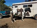 This beautiful blue roan paint mare is amazing  She is an all around great horse and sound   She i